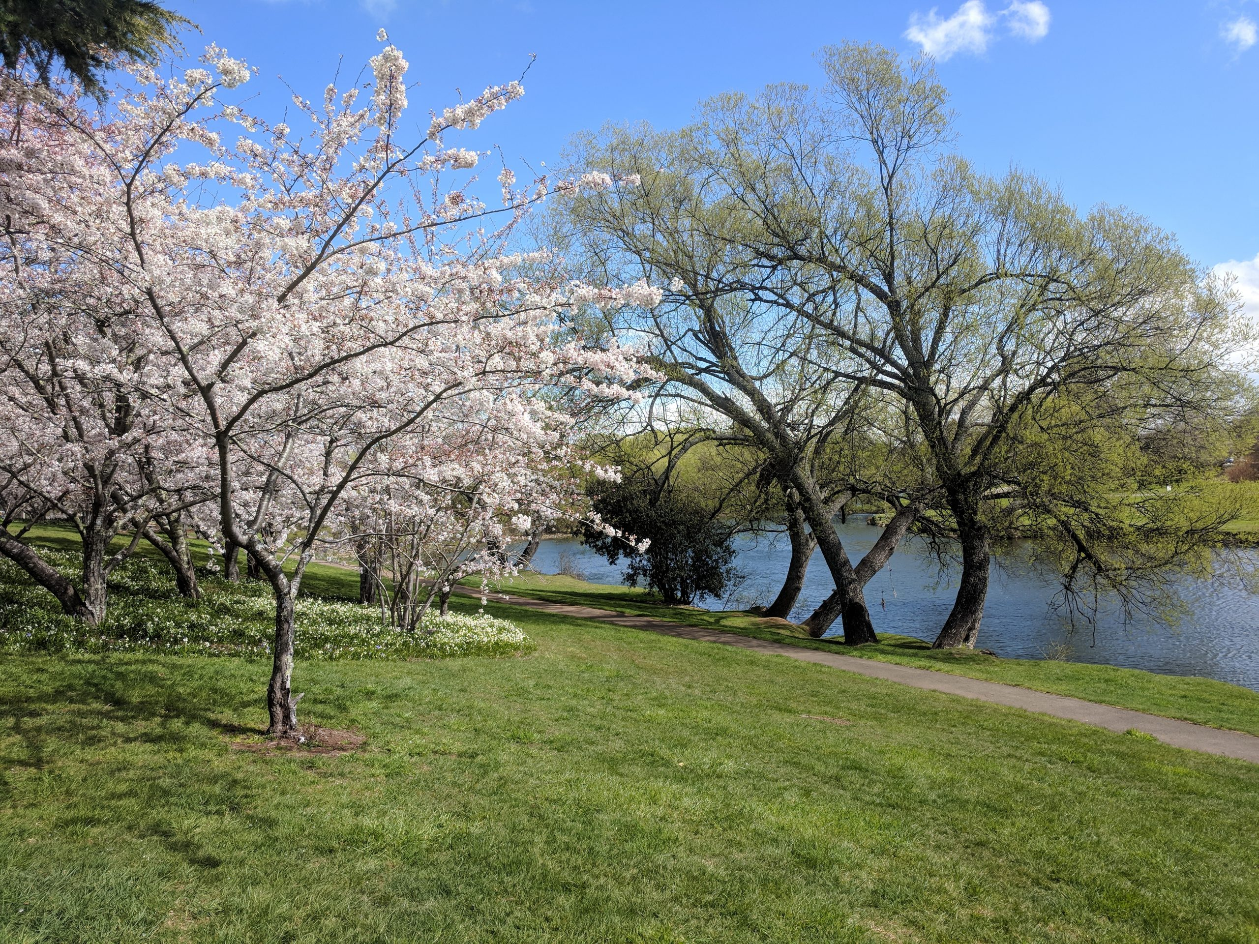 Spring Cherry Blossoms on the banks of the Meander River